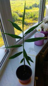 вирощування імбиря